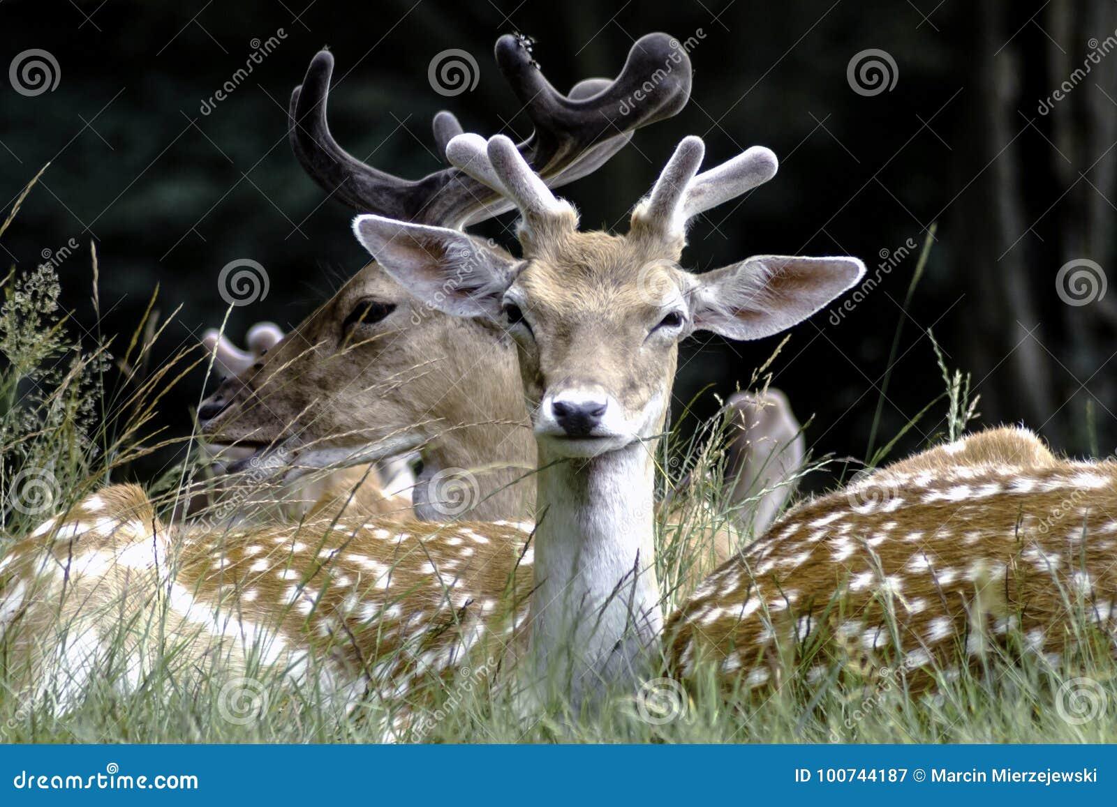 Young wild deer