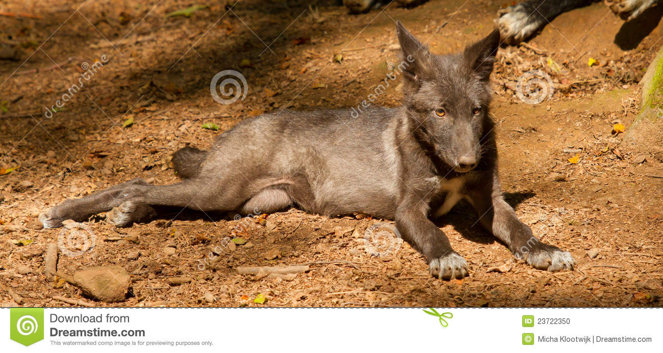 A young wolf
