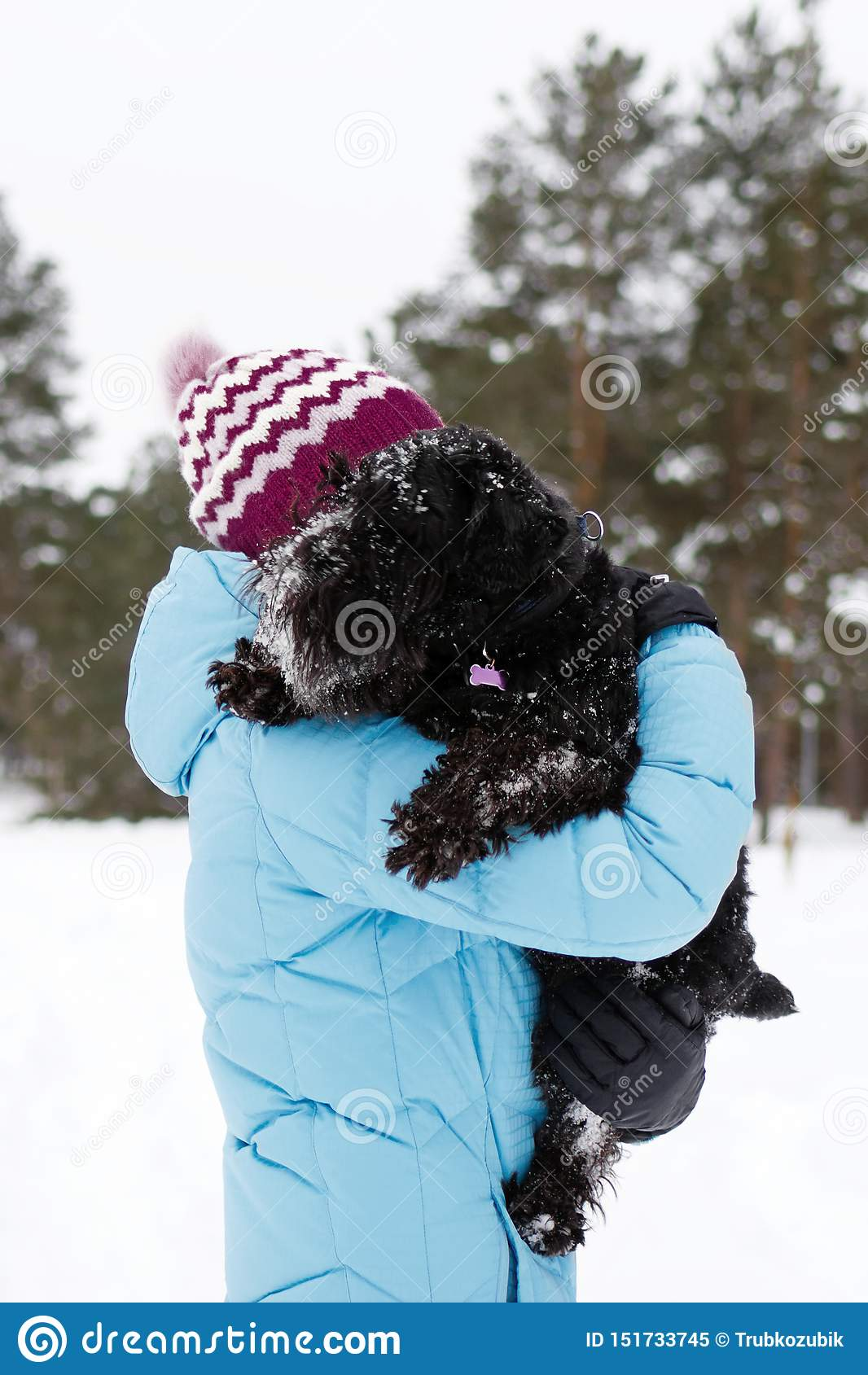 Young woman is holding her frozen black miniature schnauzer by hands on a background of winter coniferous forest