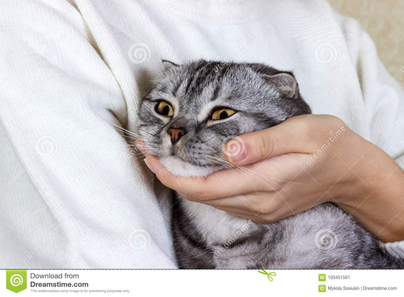 Young Woman Holds In Her Arms And Hugs Maine Coon Cat  White