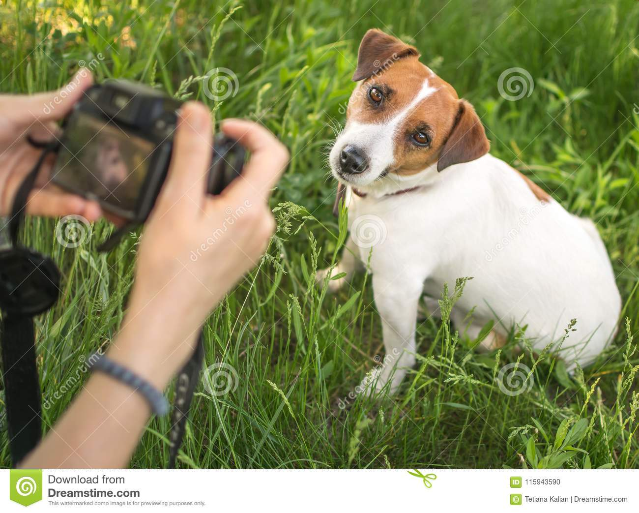 Young woman photographer taking a photo of sitting small dog jack russel terrier outside in green summer park in grass