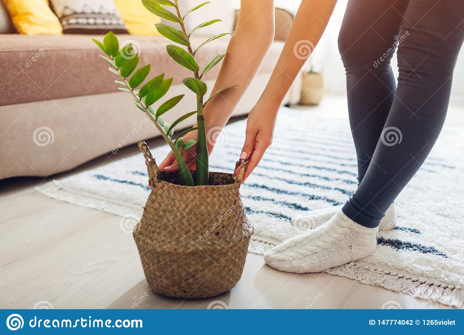 Young Woman Puts Zz Plant In Straw Basket Interior Decor Of Living Room Stock Photo Image Of Pillows Relax 147774042