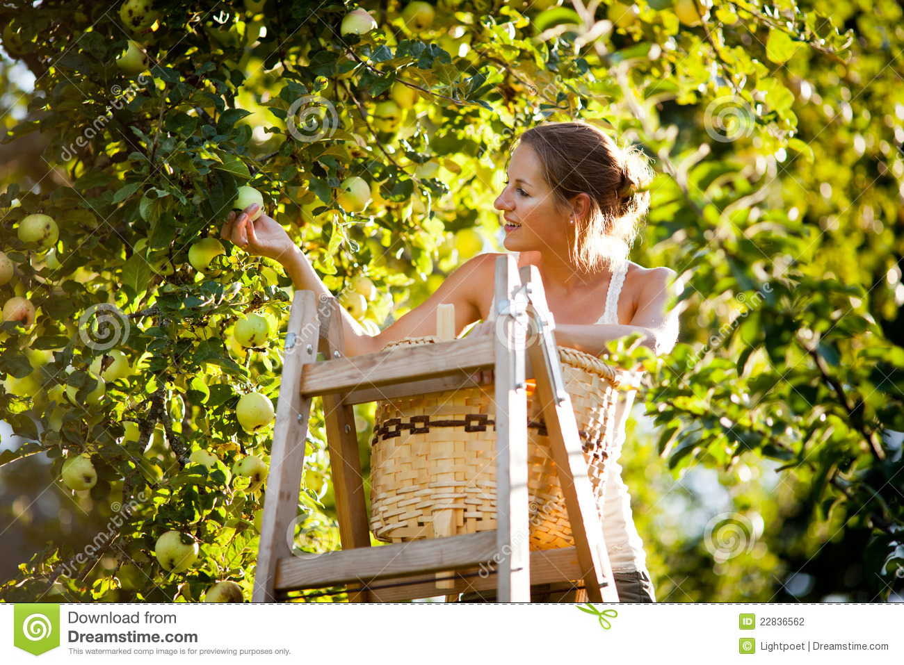 Young woman up on a ladder picking apples from an apple tree