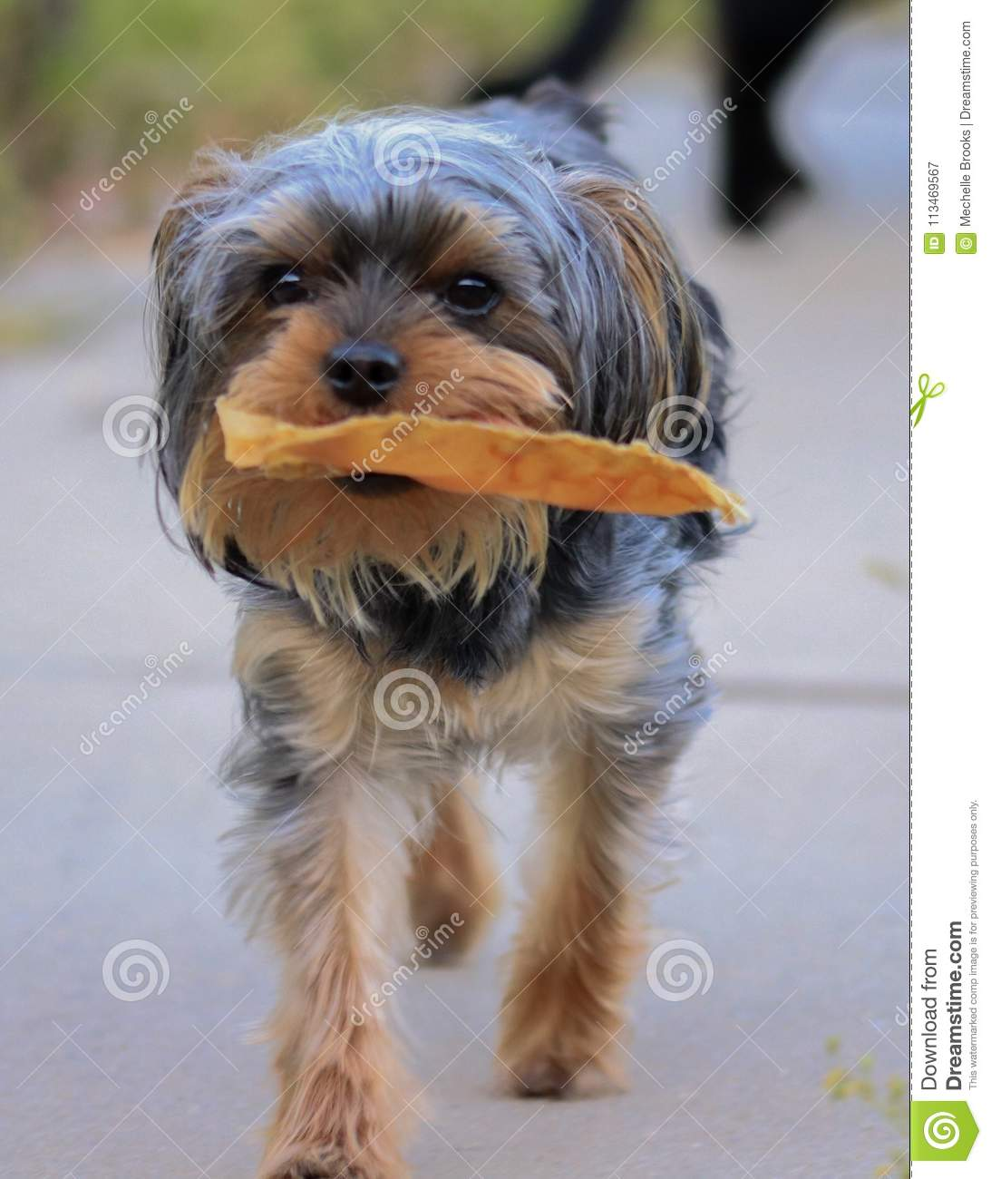 Little Yorkie Poo Puppy Carrying His Chew Toy Stock Image Image Of