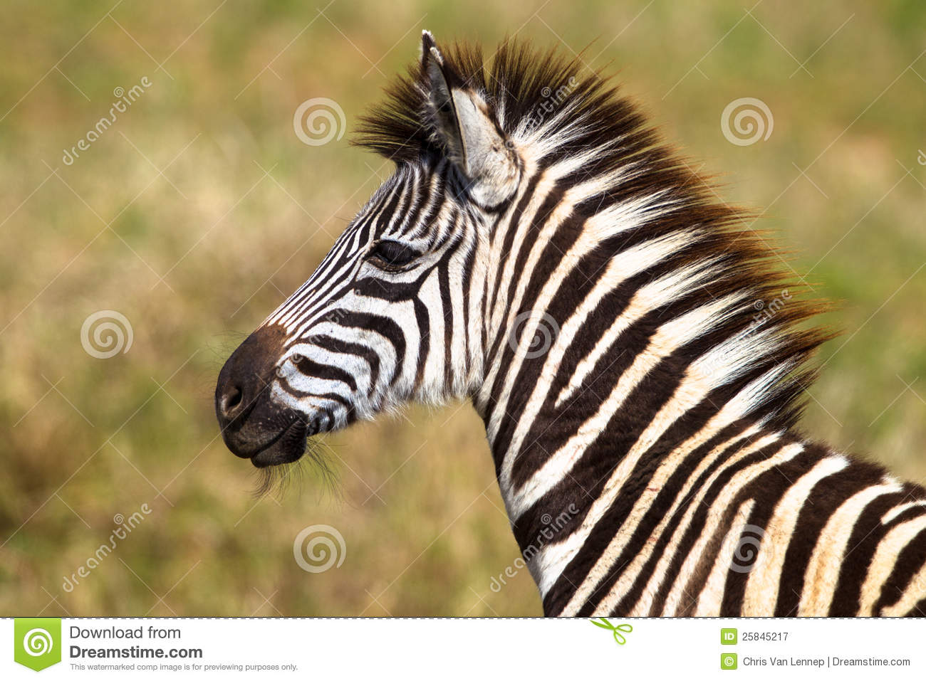 Young Zebra Colt Wildlife Royalty Free Stock Photography ...