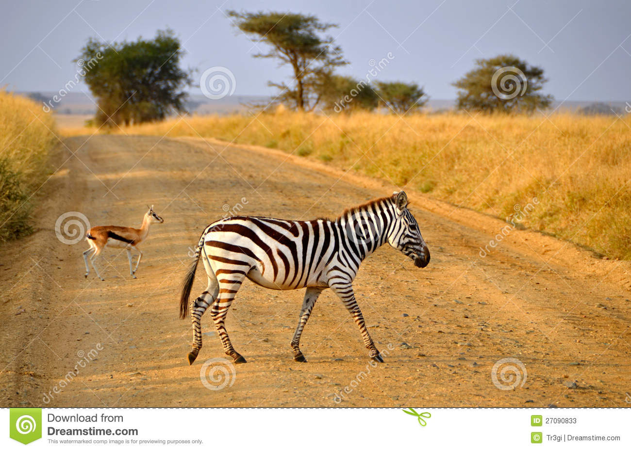 Young Zebra crossing road with Antelope on Safari