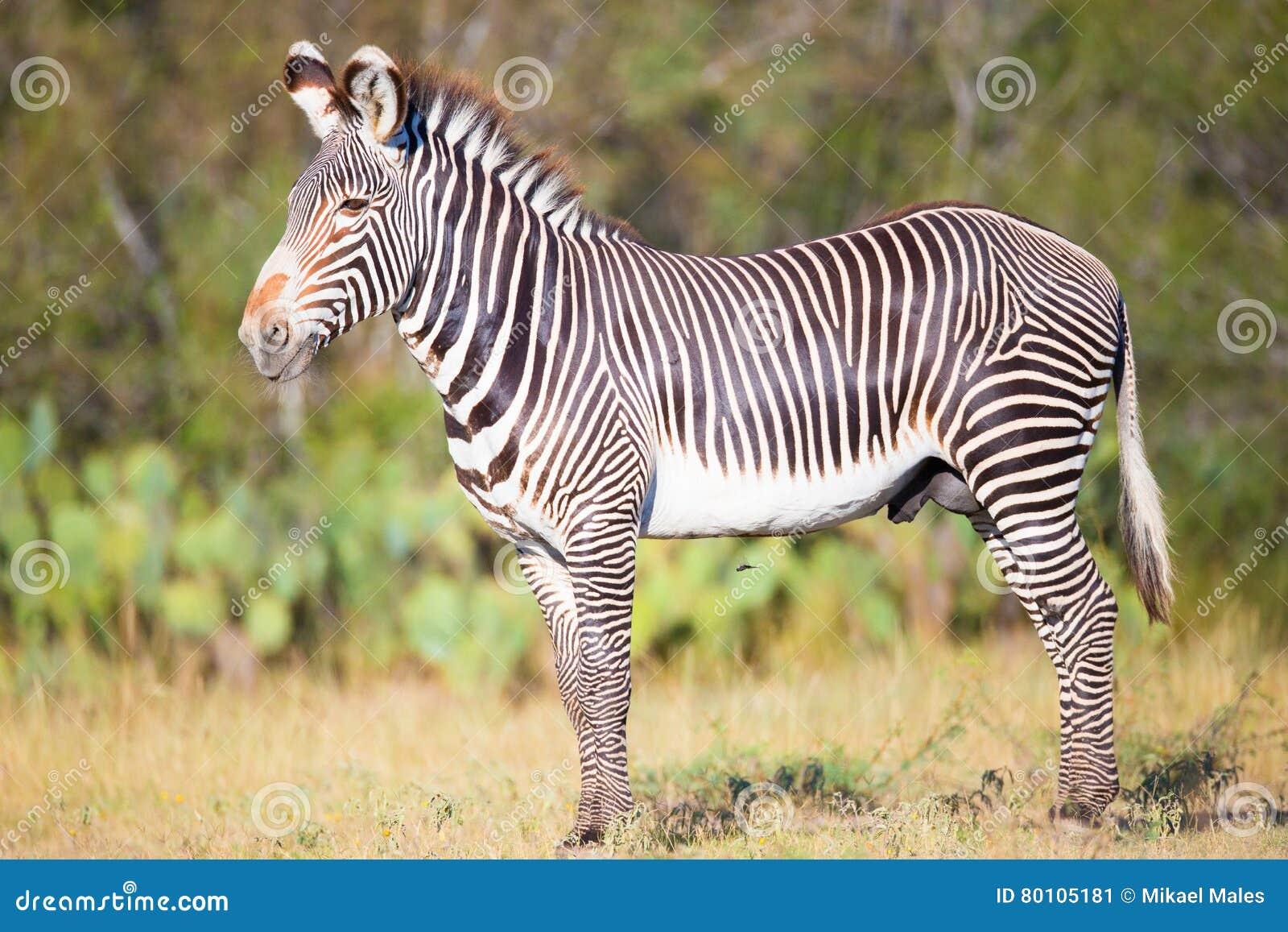 Young zebra standing