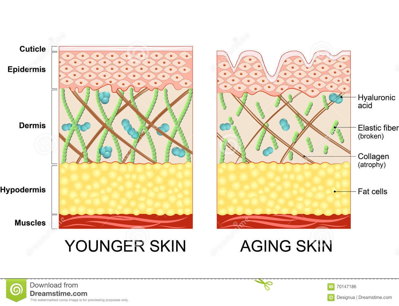 The human anatomy and aging
