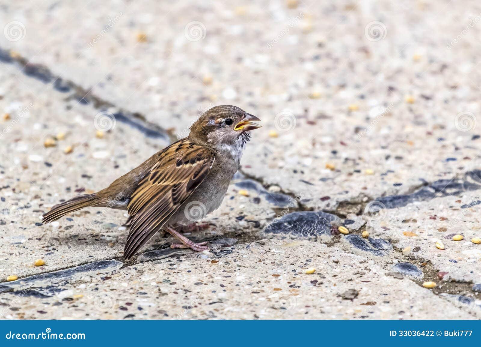 Youngling与受伤的翼的黄色额嘴麻雀-在Crossro