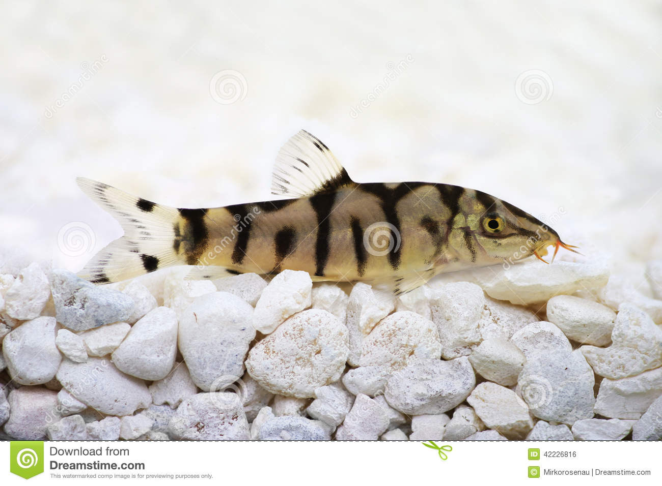Freshwater aquarium fish in pakistan - Yoyo Loach Almora Loach Or Pakistani Loach Catfish Botia Almorhae