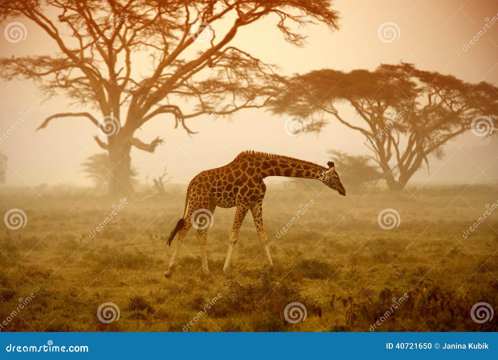Żyrafa, Nakuru