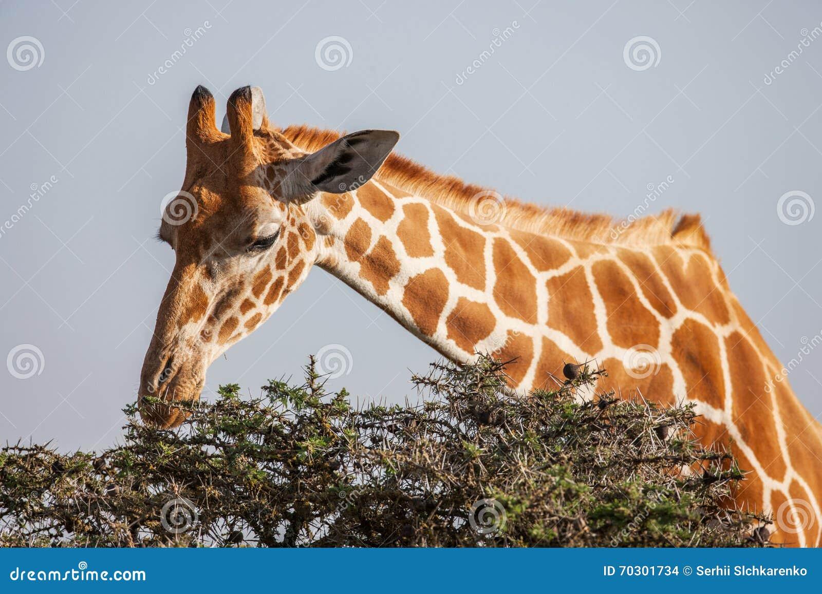 Żyrafy łasowania liście od drzewo wierzchołka z bliska