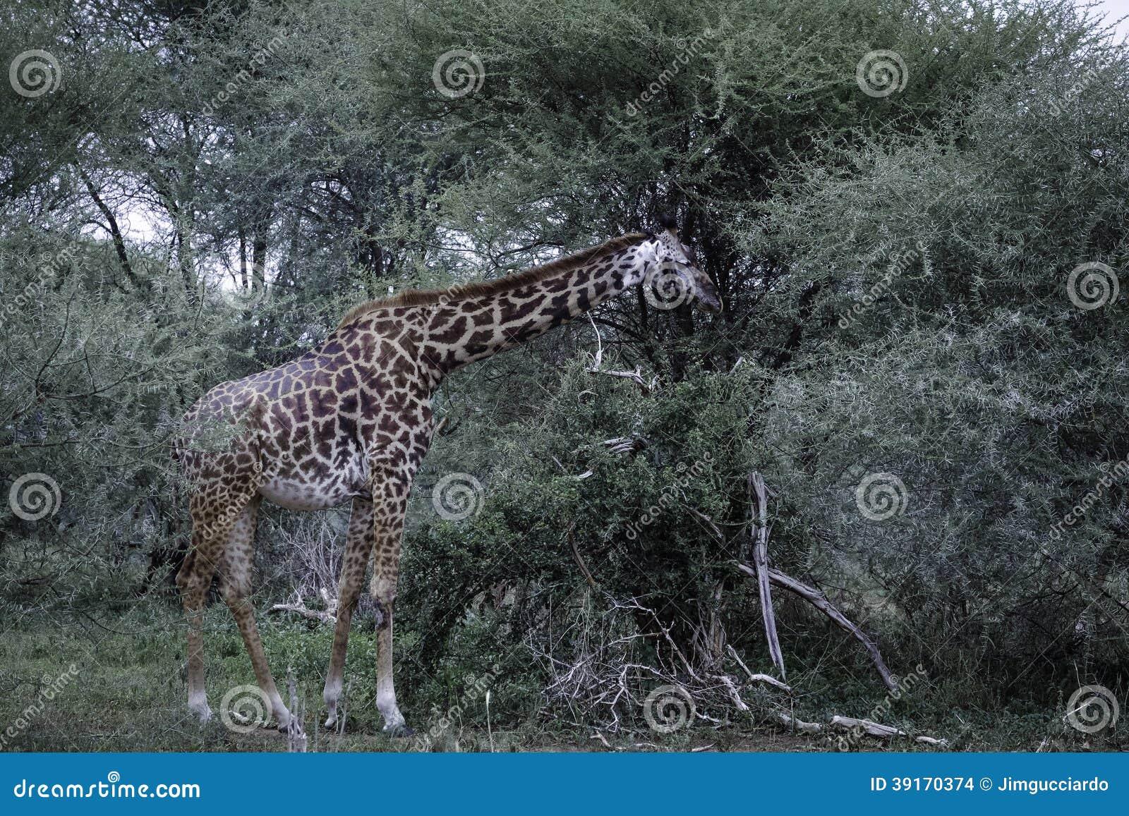 Żyrafy oin akaci żywieniowy drzewo