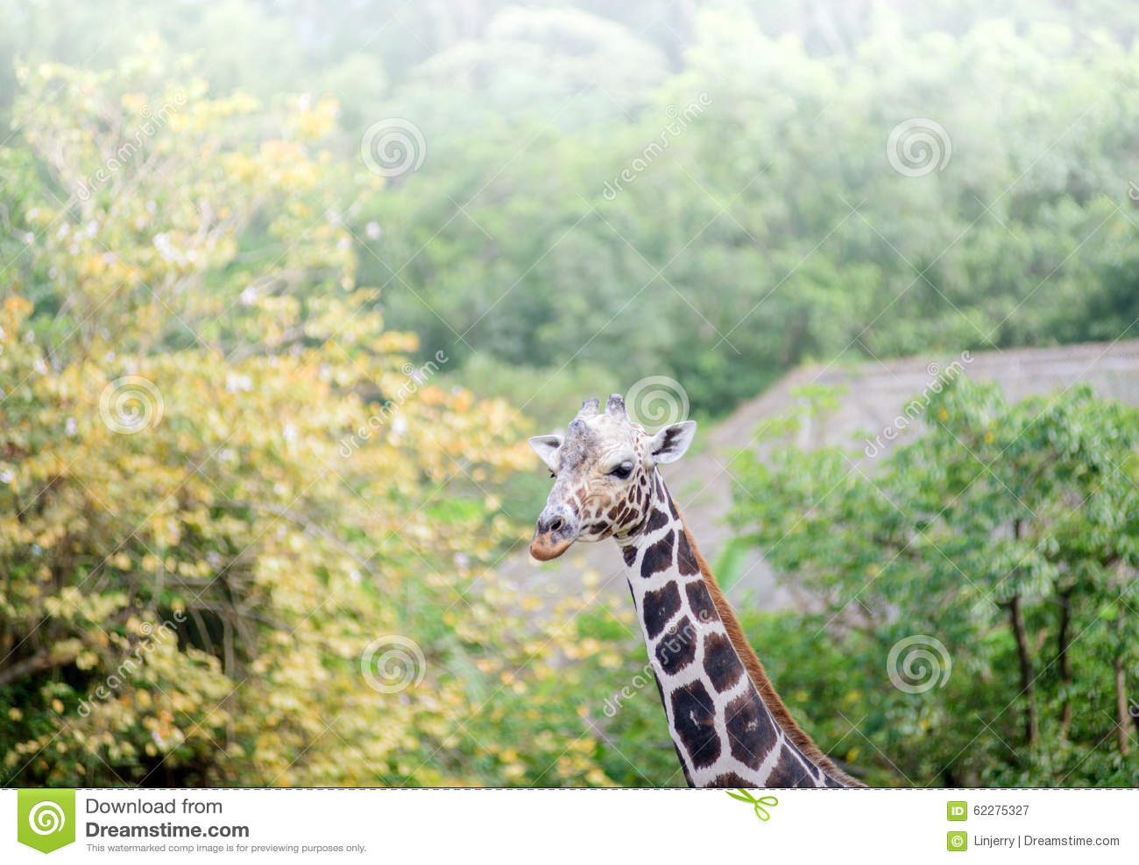 Żyrafy twarz odizolowywająca