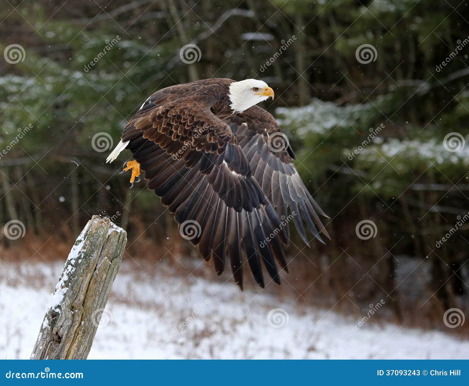 Download Łysego Eagle odlot obraz stock. Obraz złożonej z skrzydła - 37093243