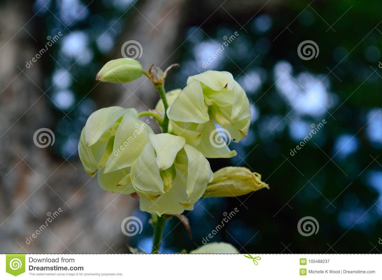 Yucca blossoms close up