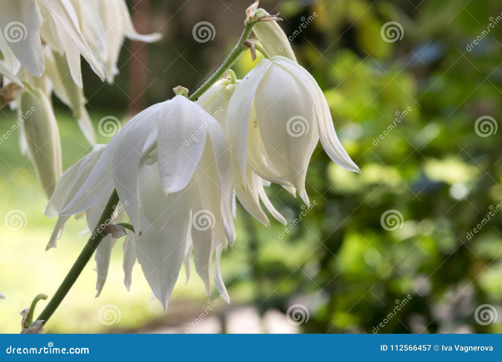 Yucca Filamentosa Amazing Plant With White Flowers Stock Image