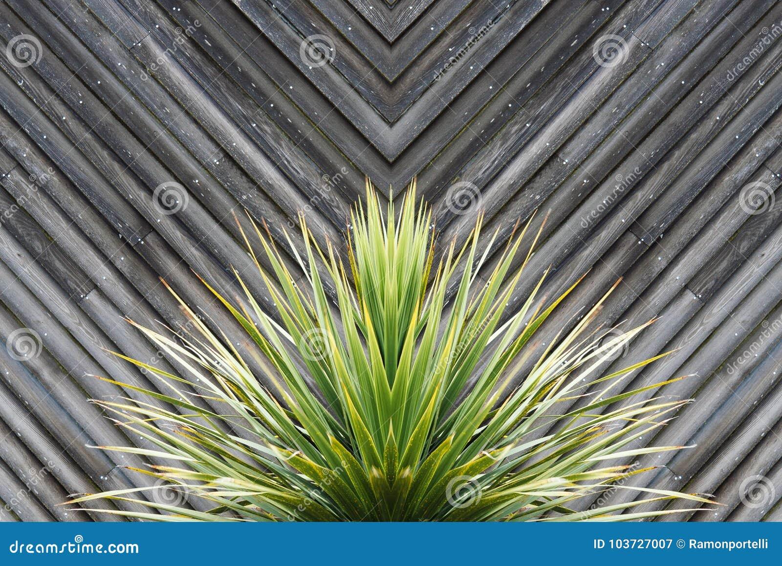 Yucca- oder Kaktuspflanzezusammenfassung mit diagonalen Planken des Holzes in t