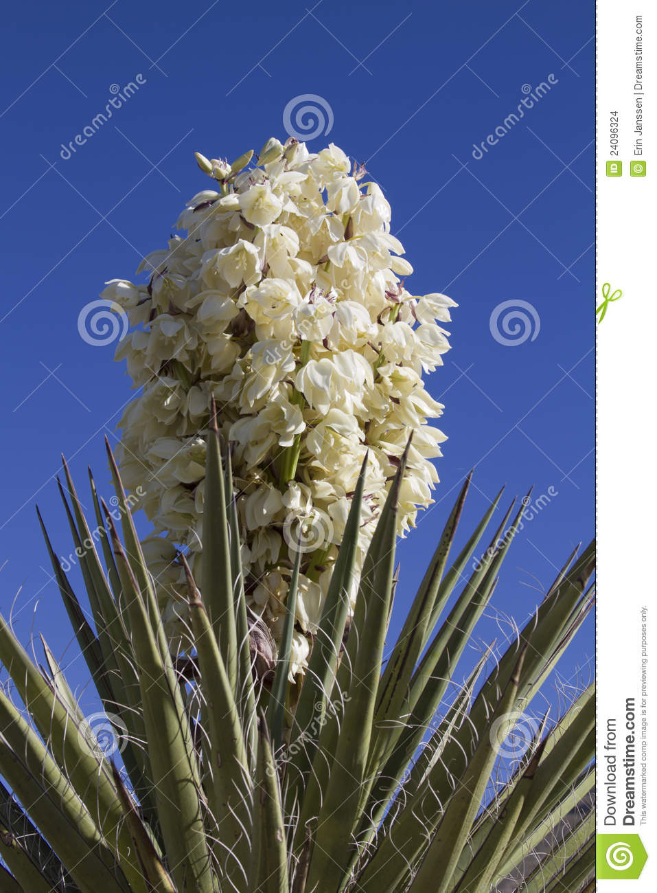 Yucca Plant In Bloom Stock Photo Image Of Desert Outdoors 24096324