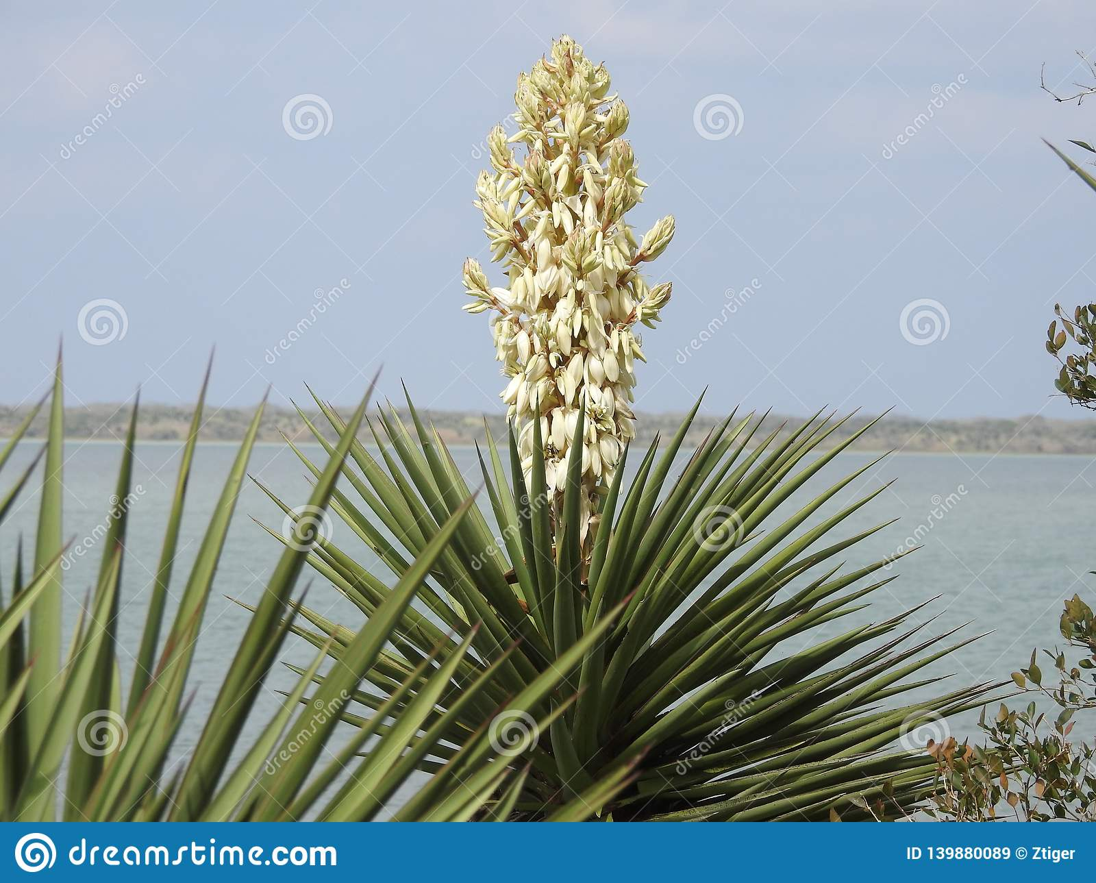 Yucca Plant in Bloom