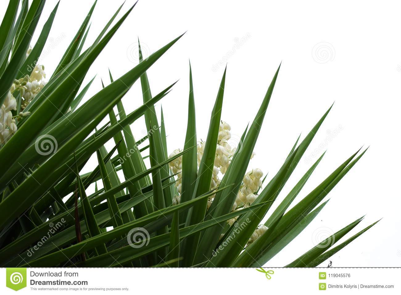 Yucca plant flowers and leaves stock photo image of nature white download yucca plant flowers and leaves stock photo image of nature white 119045576 mightylinksfo