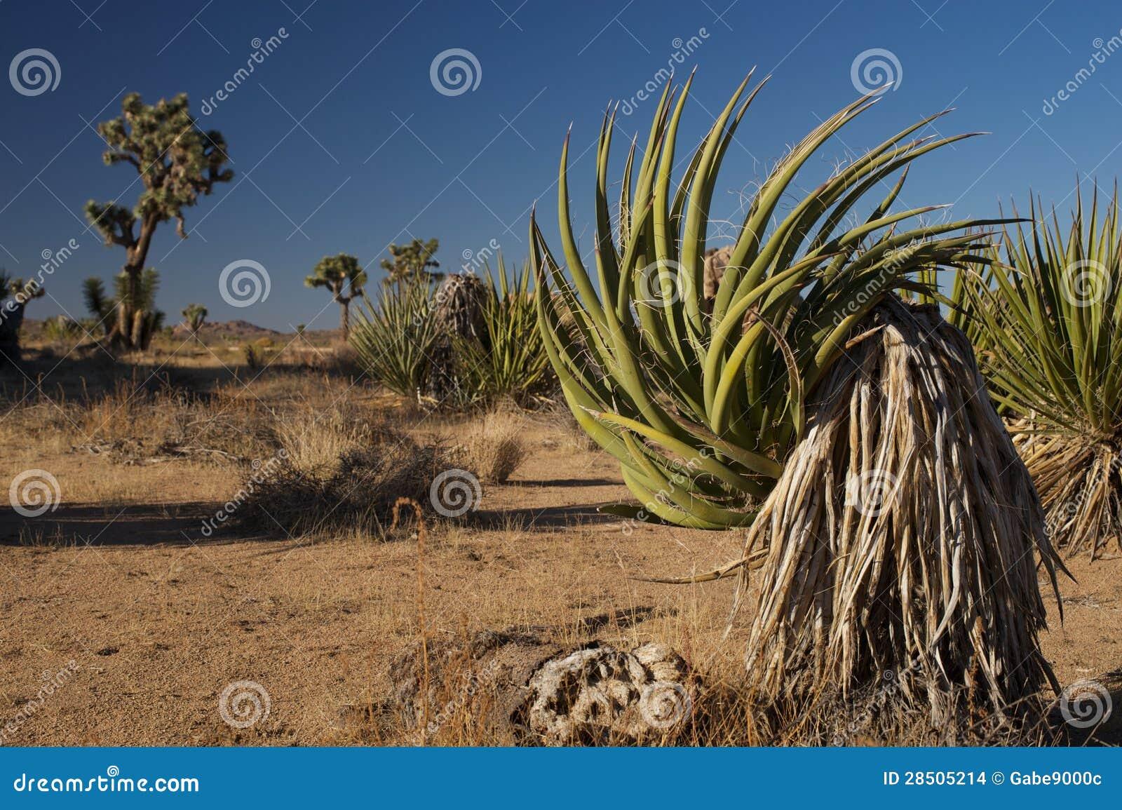 Yucca Plant at Joshua Tree