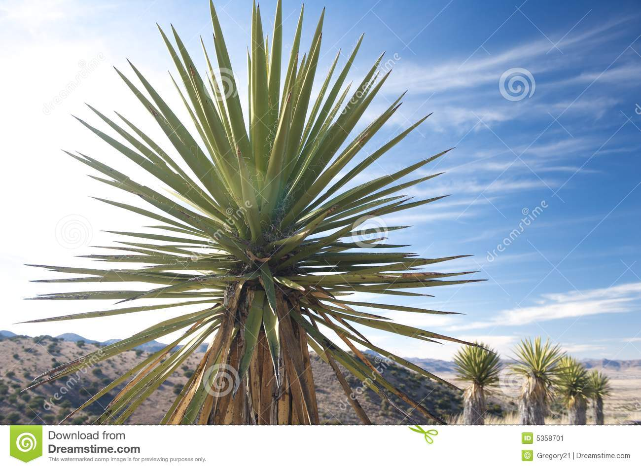 What is a yucca plant look like 10
