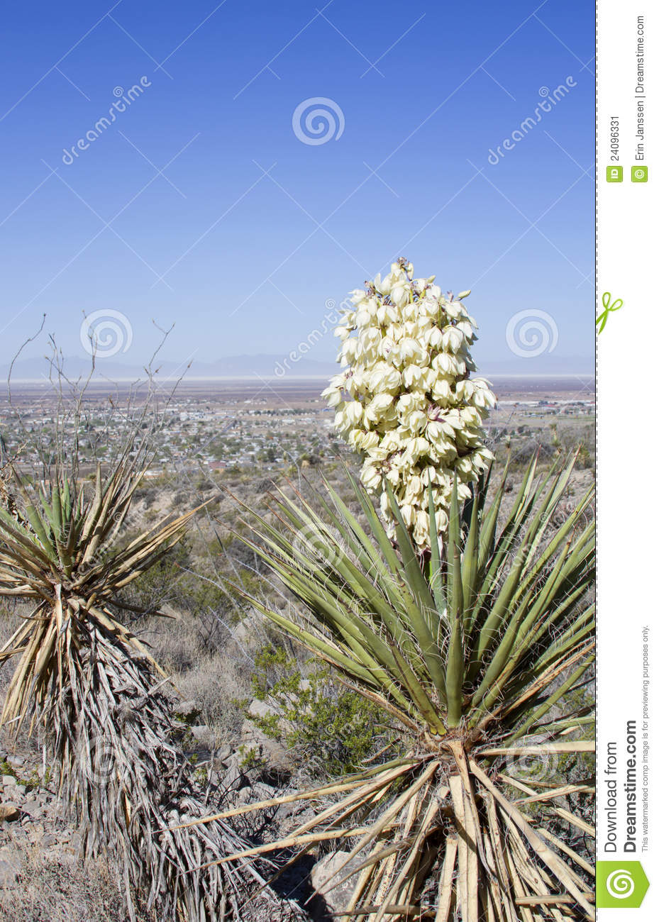 Yucca plant with white flowers stock image image of america yucca plant with white flowers mightylinksfo