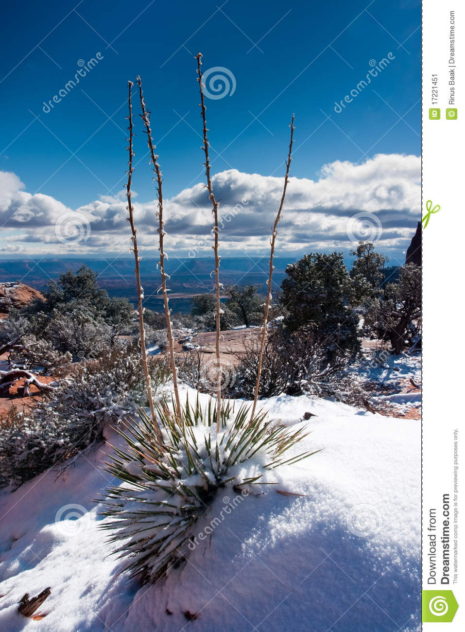 Yucca Plant in Winter