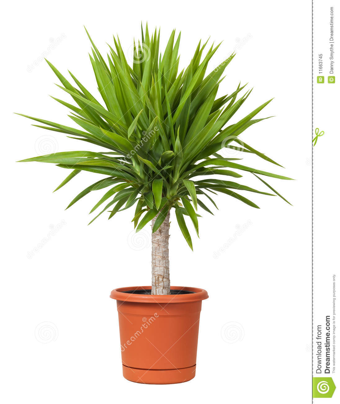 Yucca Potted Plant Isolated Stock Image - Image of flora, plant ... for potted plant transparent  587fsj