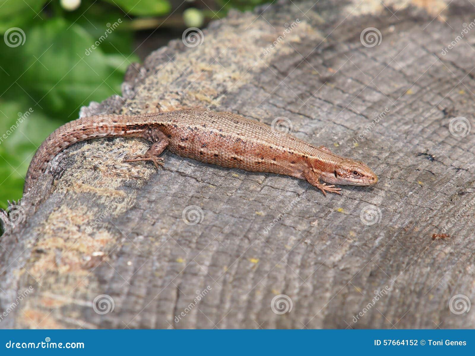 Żyworodna jaszczurka (Zootoca Vivipara)
