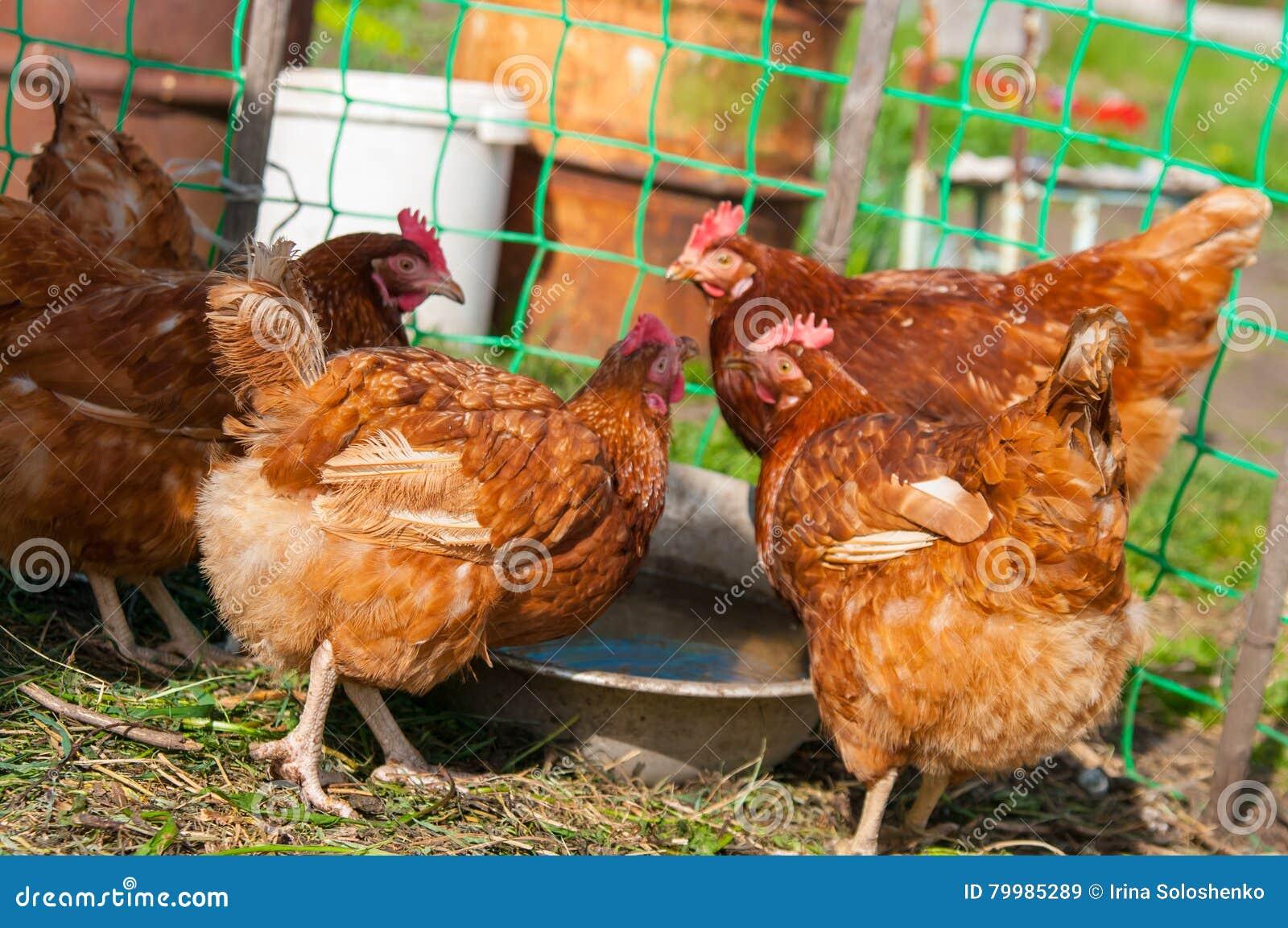 Żywy brown kurczak