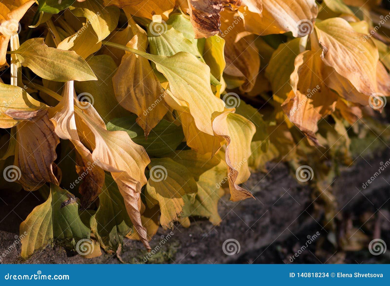 Złoty hosta ulistnienie w jesieni w parku