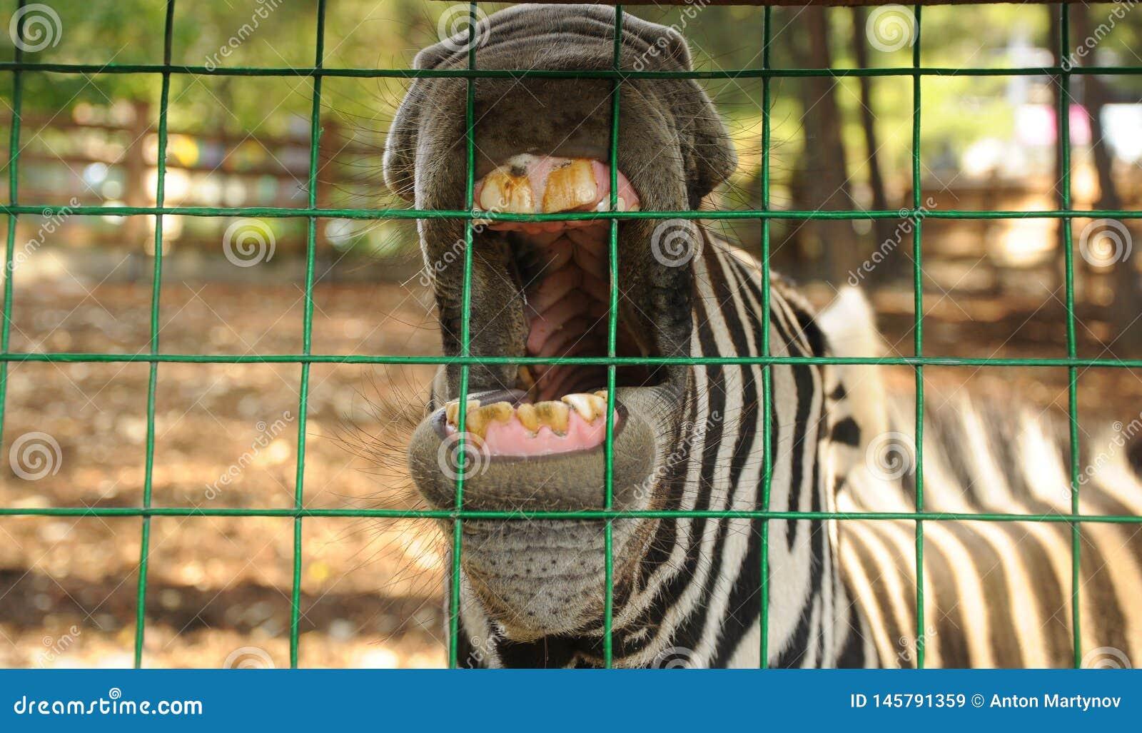 Zèbre au trellis dans le zoo