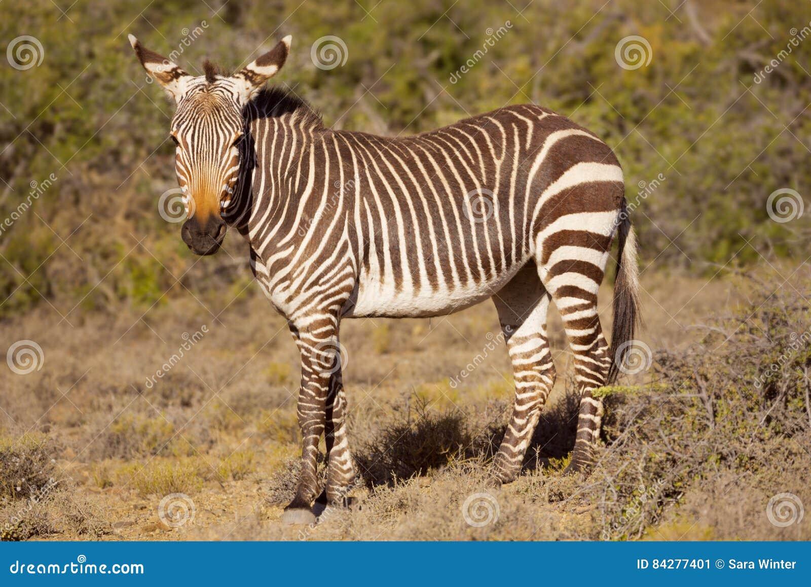 Zèbre de montagne de cap en parc national de Karoo, Afrique du Sud