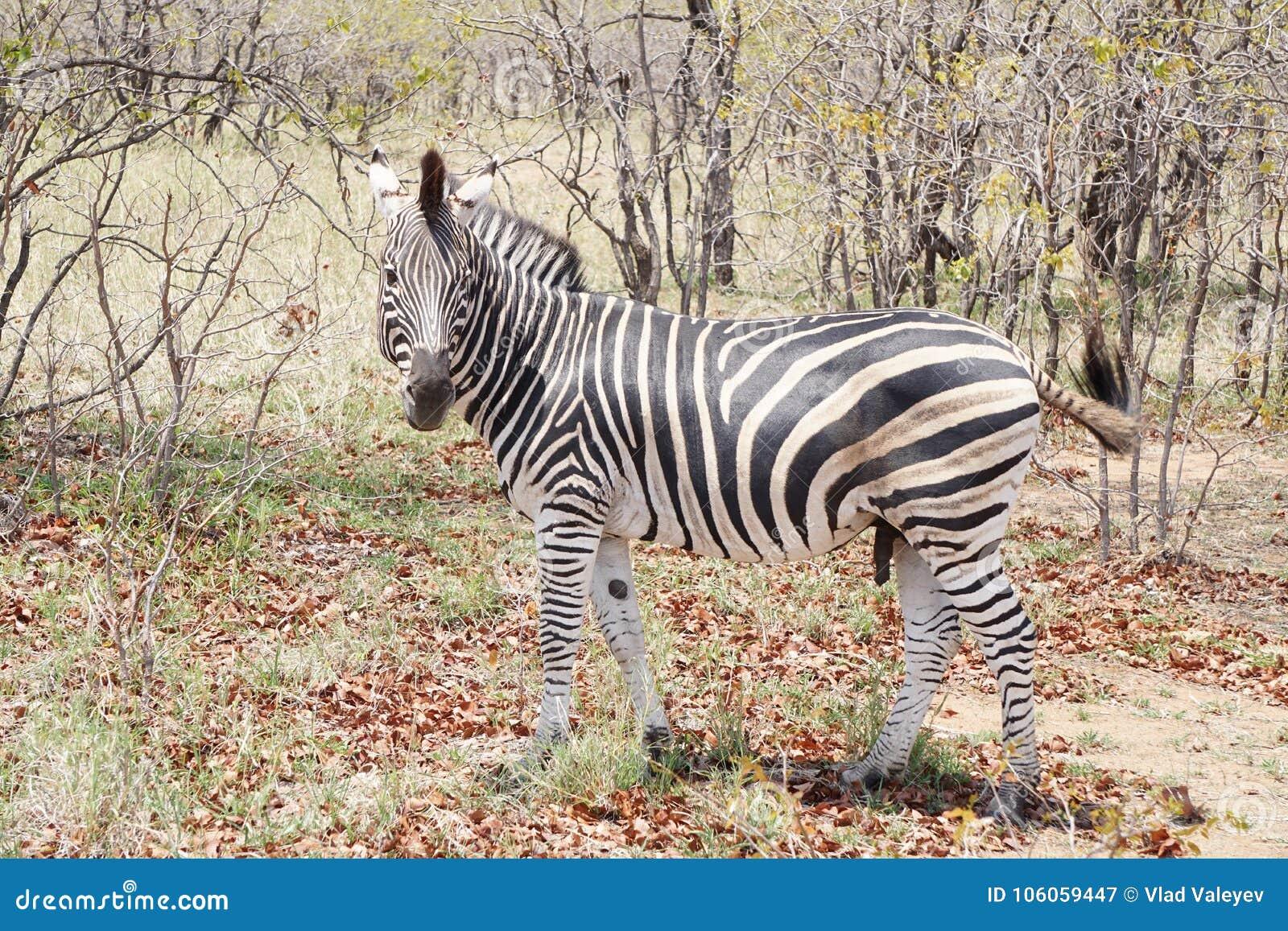 Zèbre en stationnement national de Kruger