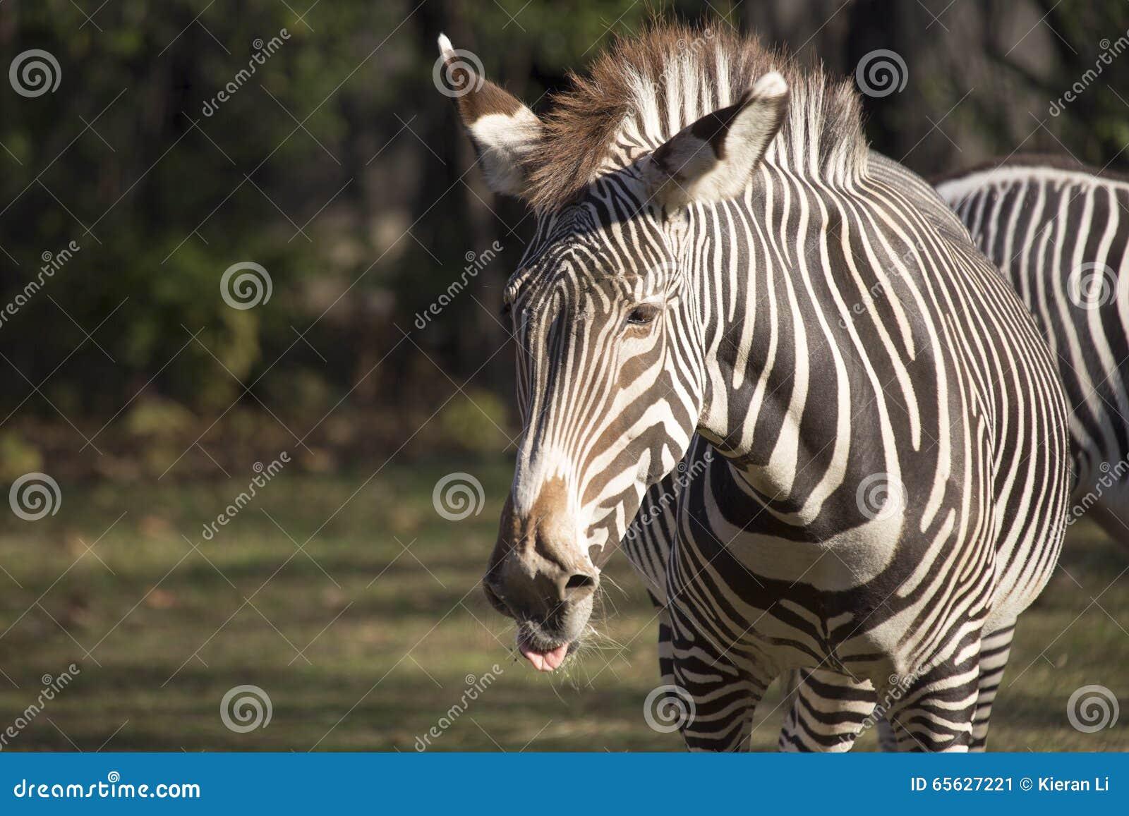 Zèbre (quagga d Equus)