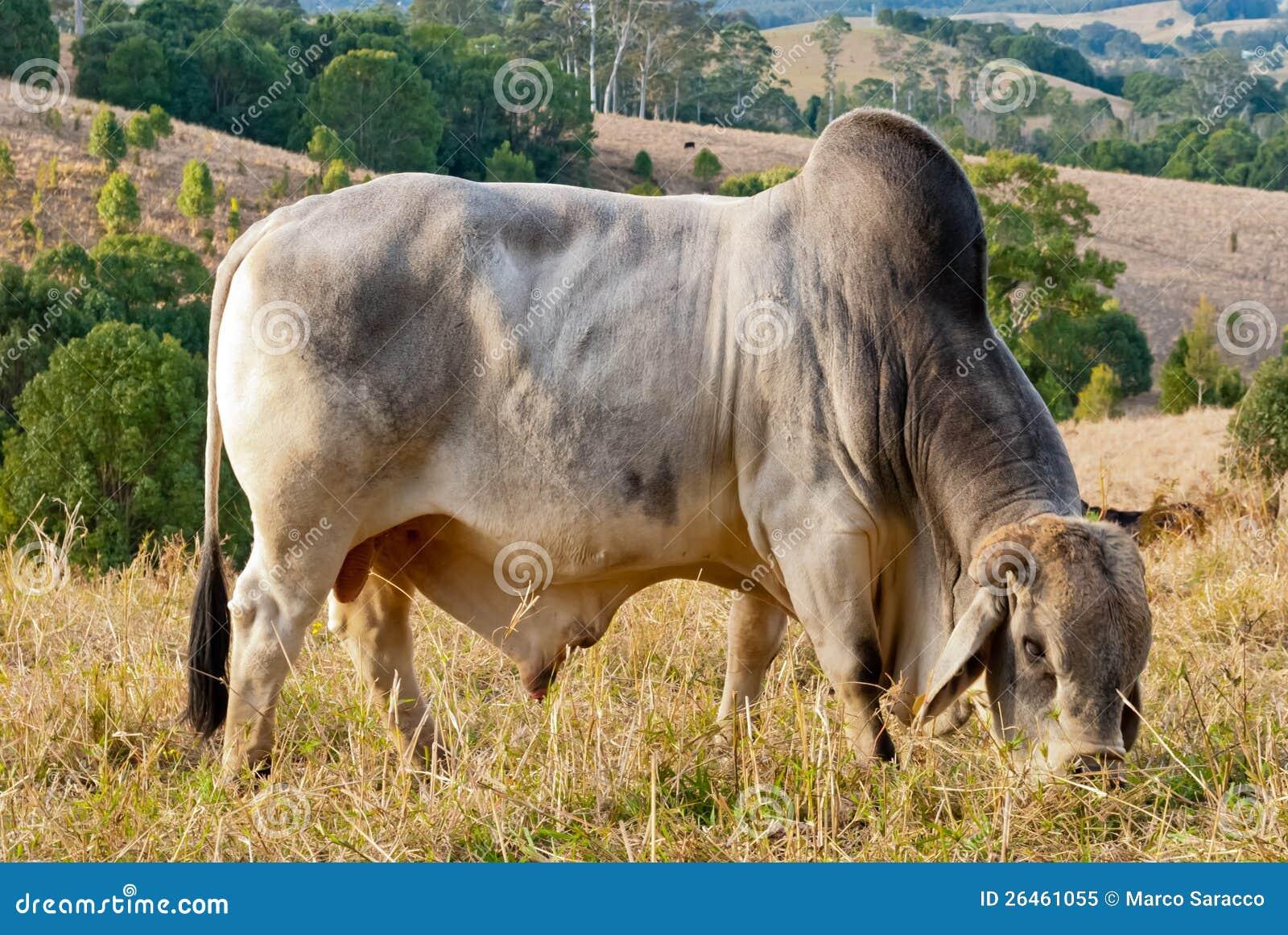 Download Zébu Sauvage Dans Un Horizontal Rural Paisible Image stock - Image du landscaped, culture: 26461055