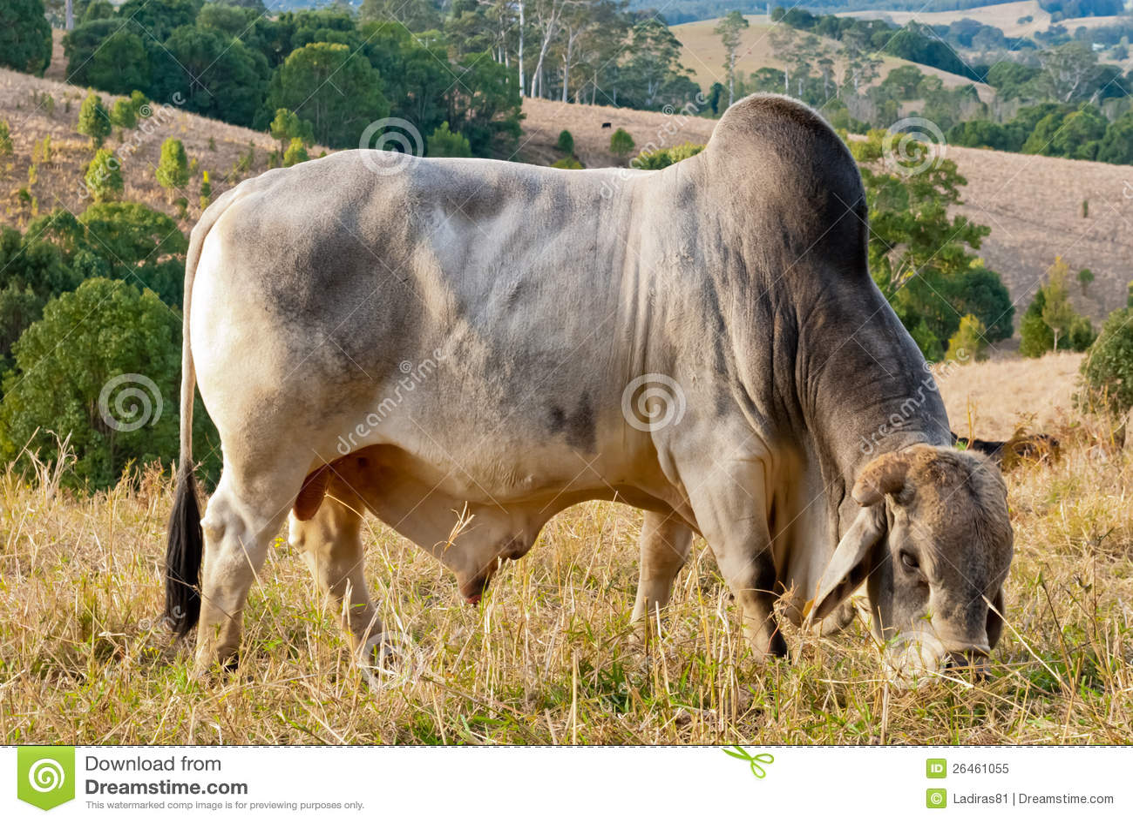 Zébu sauvage dans un horizontal rural paisible