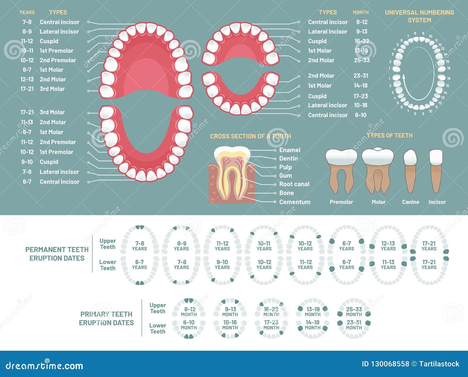 Ząb anatomii mapa Ortodontów zębów straty ludzki diagram, stomatologiczny plan i orthodontics medyczny wektorowy infographic,