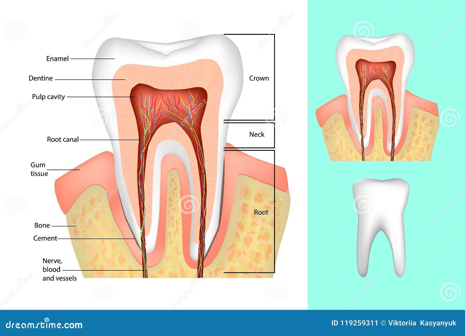 Ząb struktura