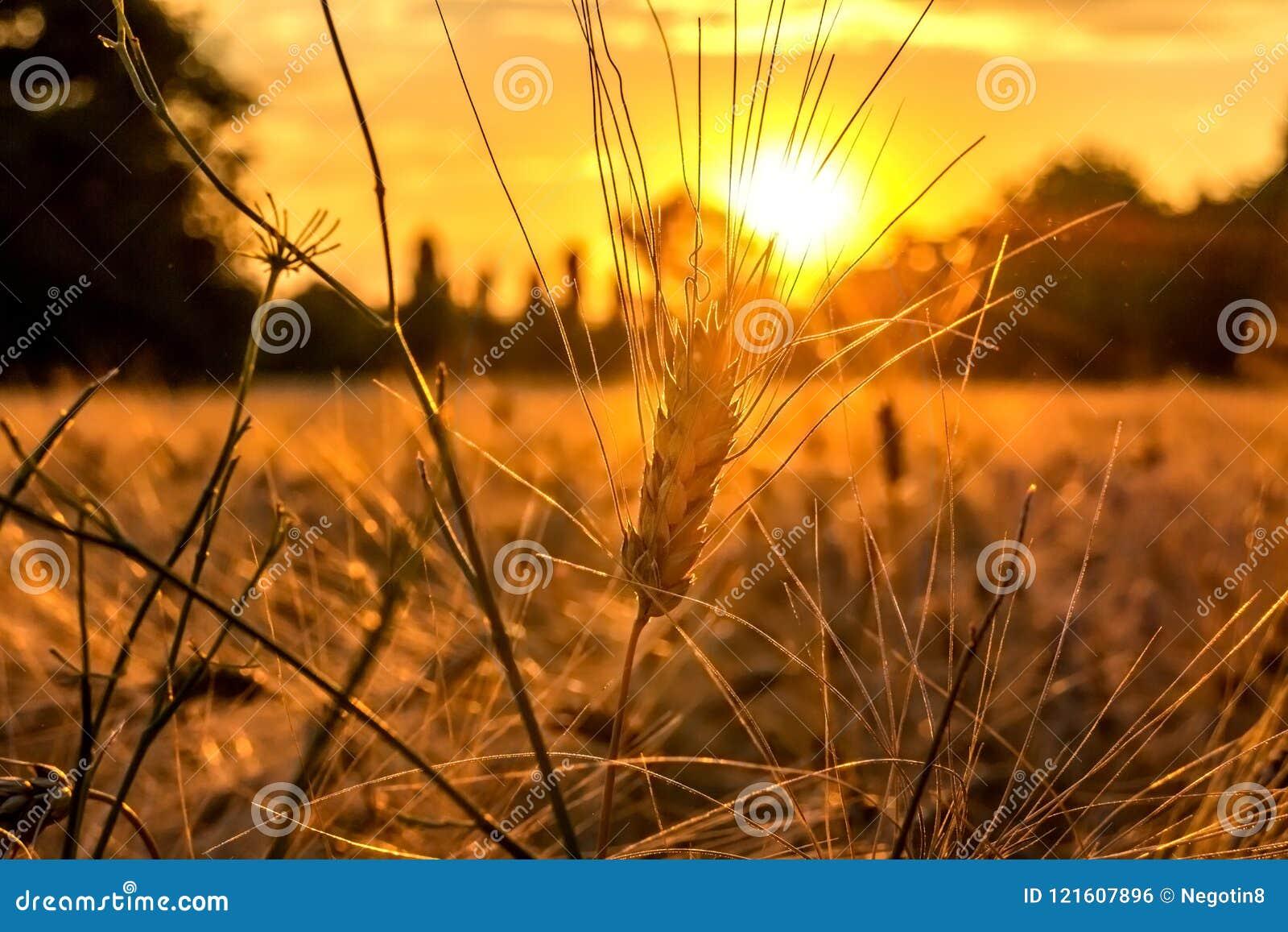Złota godzina i pole z adrą
