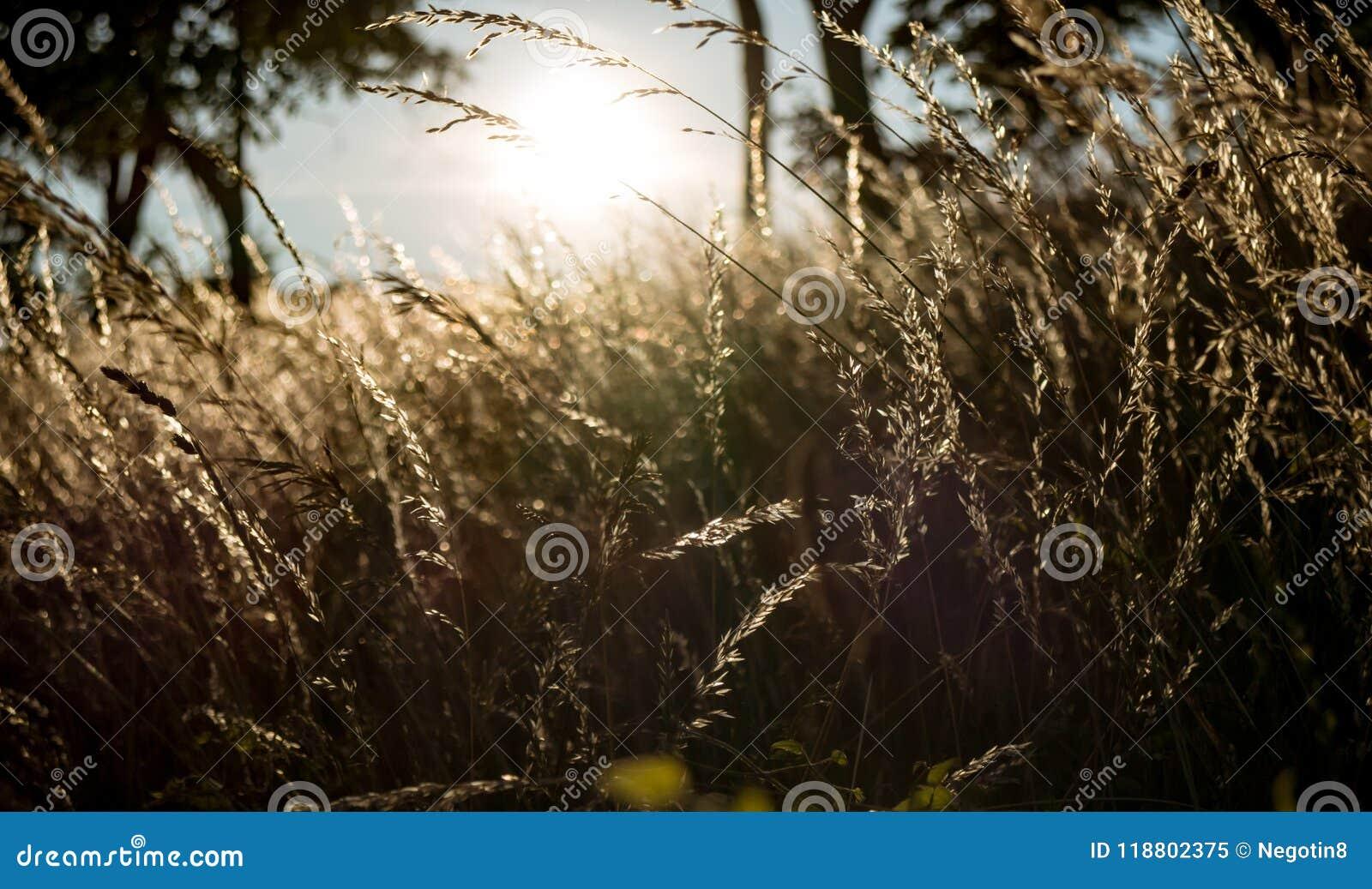 Złota godziny i siana trawa