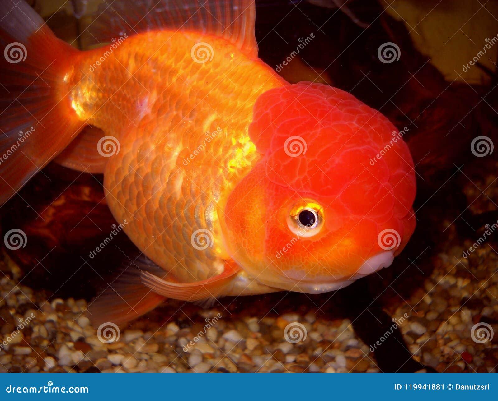 Złota rybi dopatrywanie