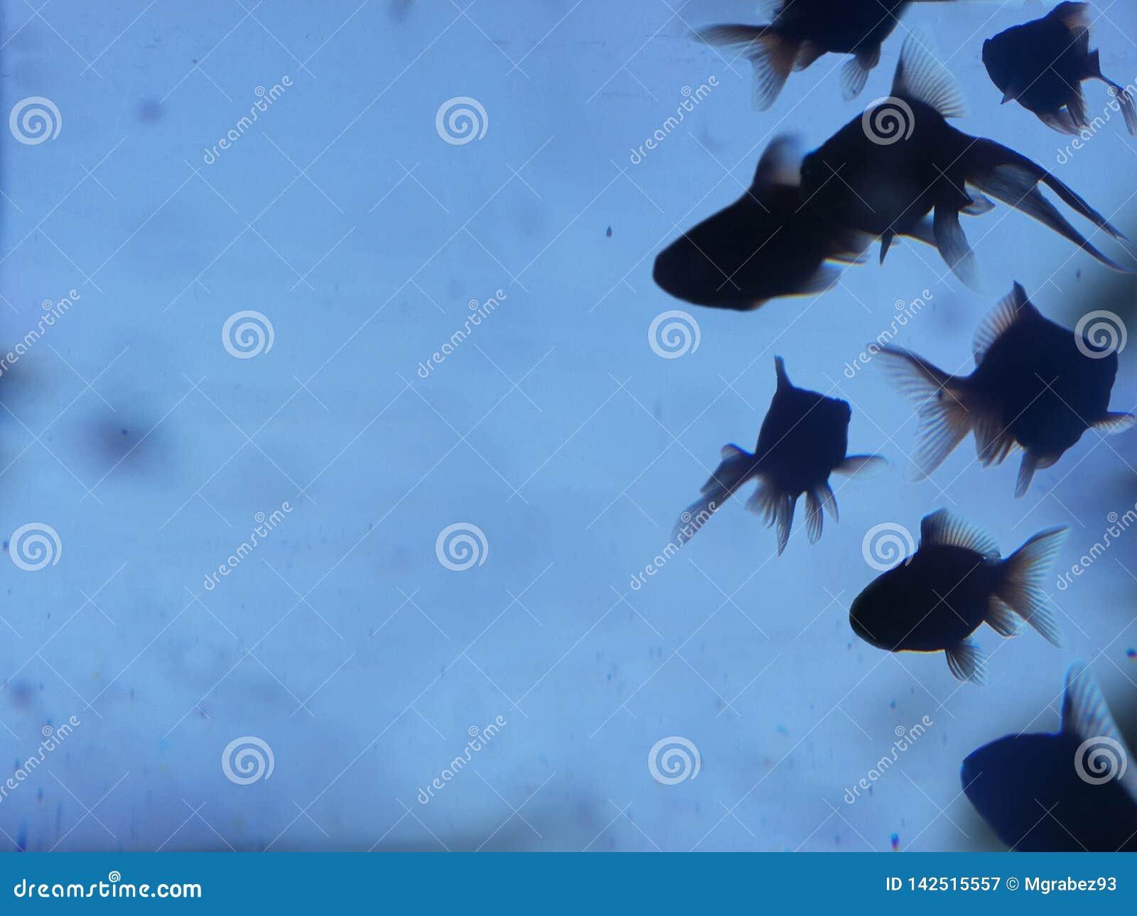 Złota ryby sylwetka