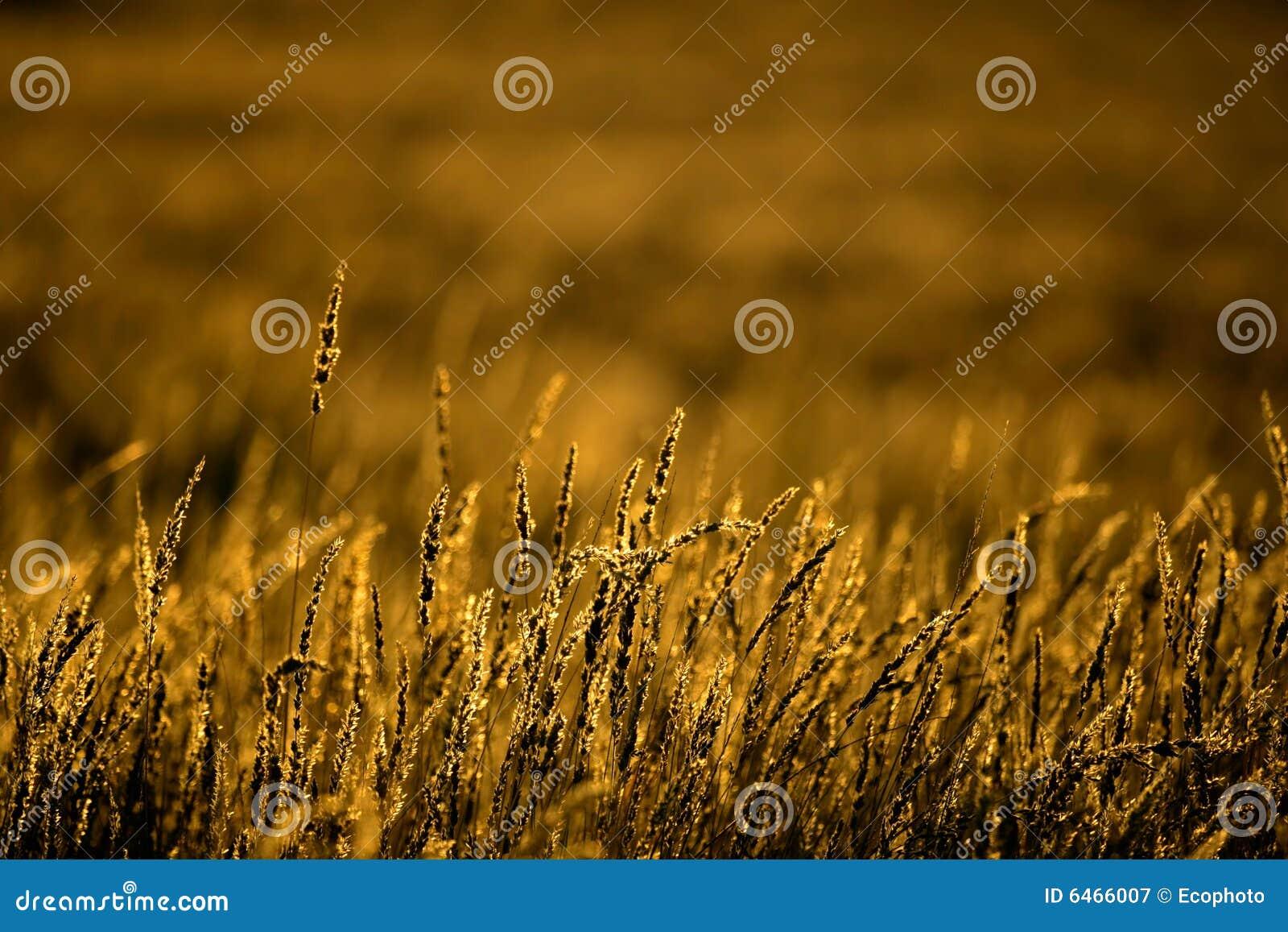Złote trawy