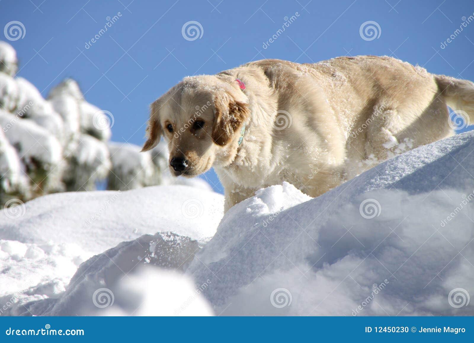 Złotego aporteru śnieg