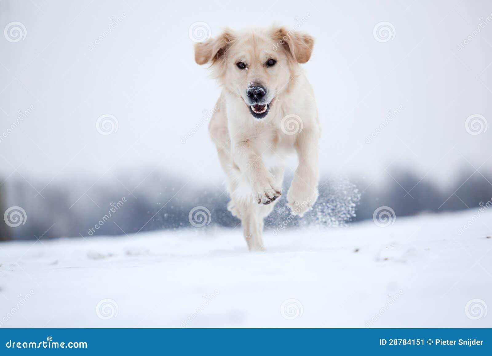 Złotego aporteru bieg w śniegu