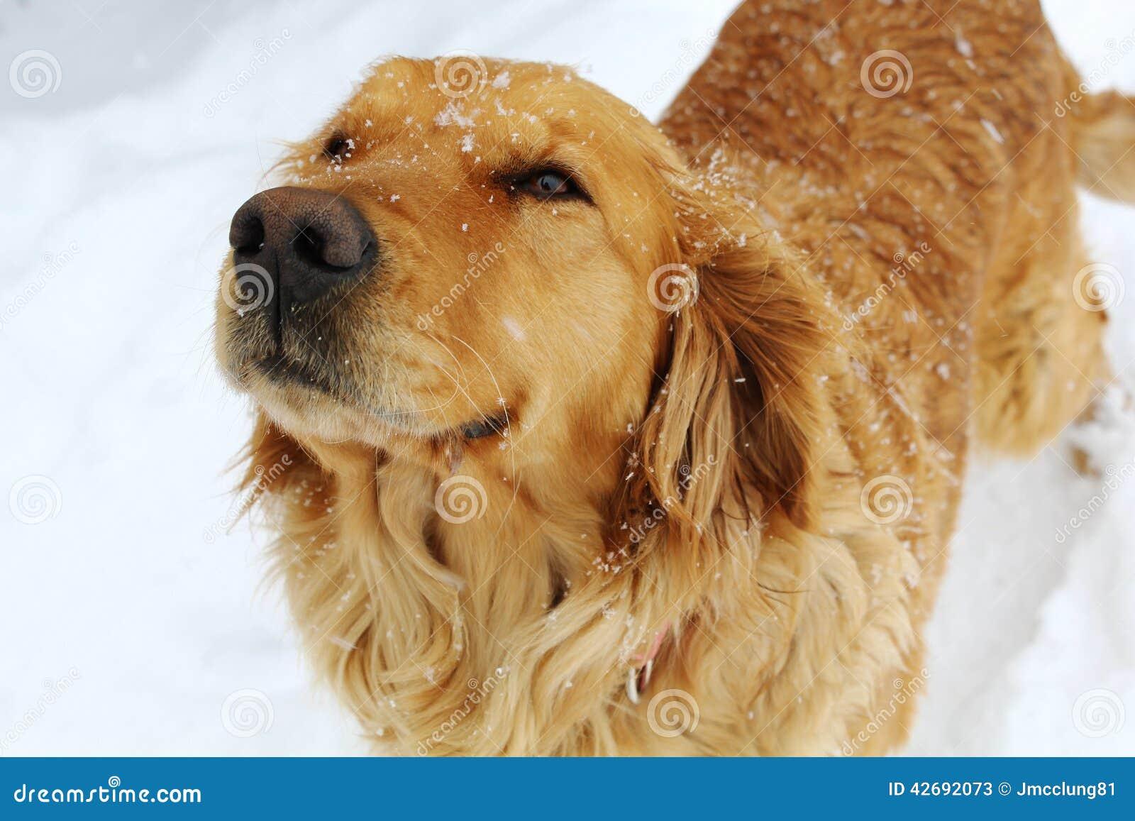 Złotego aporteru pies w śniegu