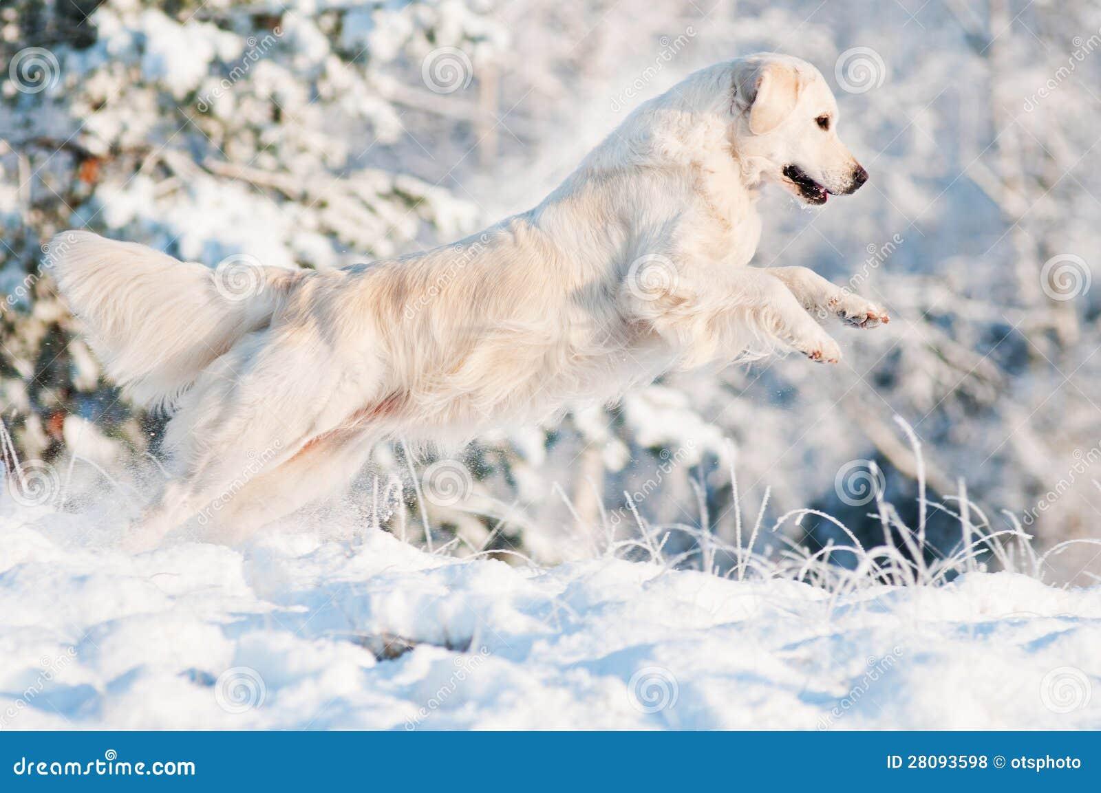 Złotego aporteru psa doskakiwanie w śniegu